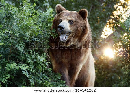 This large and healthy Grizzly or Brown Bear views down the trail at our local zoo near sunset. - stock photo