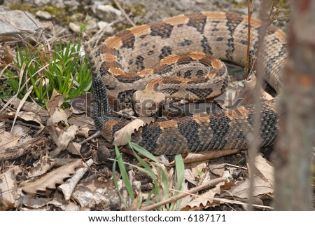 This large timber rattlesnake was photographed in Jackson County, Missouri. - stock photo