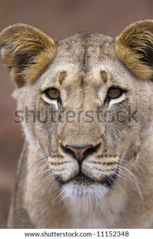 This Lioness Comes up to the photographer to investigate