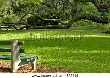 This live oak in an Orlando park has been growing on it's side for many years. - stock photo