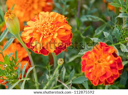 This macro stock image is of an orange and red marigold Tagetes erecta flower.  This annual flower is cheery with buds and other blooms nearby that are intentionally blurred for artistic effect. - stock photo