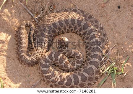 This massasauga rattlesnake was photographed in central Kansas. - stock photo