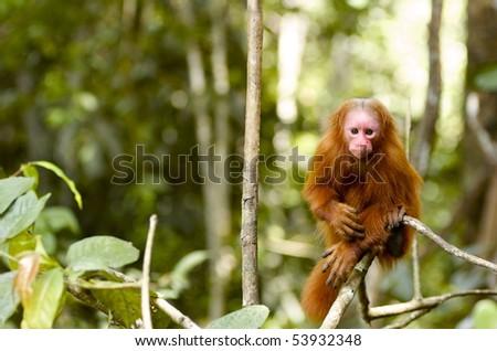 This monkey was seen on a tour through the Amazon Jungle near Iquitos - stock photo