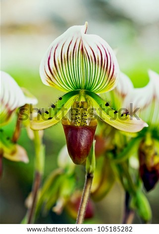 """This orchid in Thai call """"Lady's Slipper"""" - stock photo"""