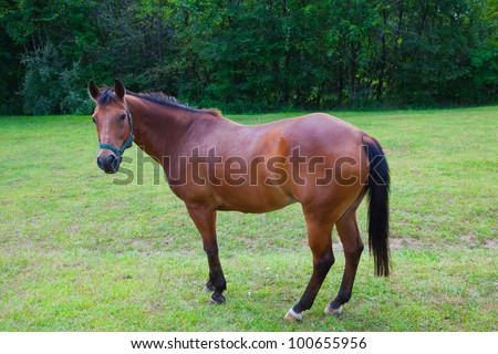 This photo shows a brown horse looking at the camera with head raised and ears forward. - stock photo
