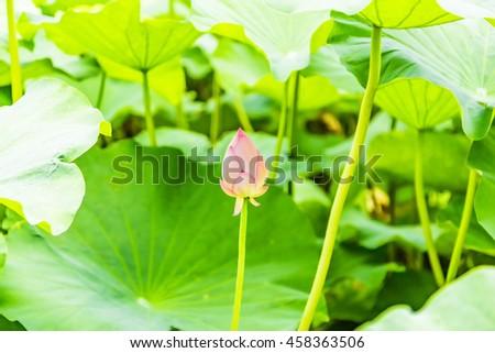 This photo was taken at Ueno Shinobazunoike (Taito Ueno, Japan). / Lotus flower bud / flower, tourist destination - stock photo