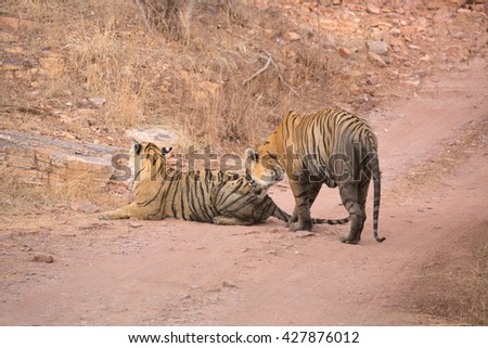 This picture pair of Indian tigers are ready to mate. An excellent illustration in the soft light which show wild life.