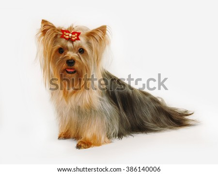 This purebred Yorkshire Terrier has beautiful long hair that was groomed by professional breeder. It has bright red hair on its muzzle - stock photo