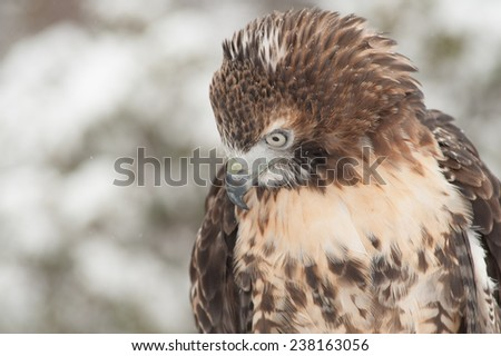 This red-tailed hawk (Buteo jamaicensis) is a bird of prey. It breeds mainly in North America and has a wing span of 43-57 inches