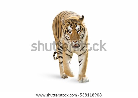 stock-photo-this-tiger-is-coming-to-me-i