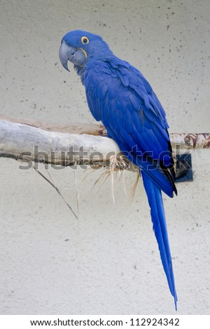 This very large blue parrot bird - stock photo