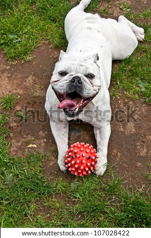 This white bulldog is happy playing with a red ball, and while lying on its stomach on the grass, looks up.  Vertical pet image with no people.