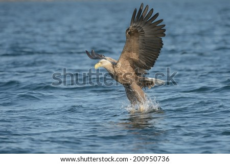 This White-tailed Eagle has grasped a prey fish in its talons and has been captured at the transition to upward flight, just for a moment the bird looks as if it is standing on the water. - stock photo