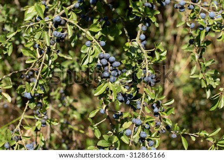thistle /blackthorn) growing on a branch of a summer day - stock photo