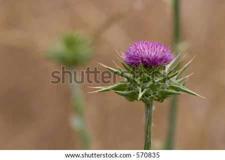 Thistle Close-up, green and purple - stock photo