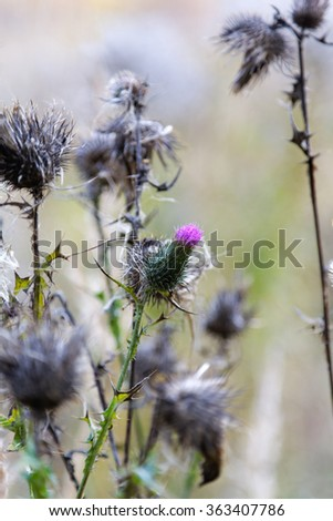 thistle flower closeup summer day - stock photo