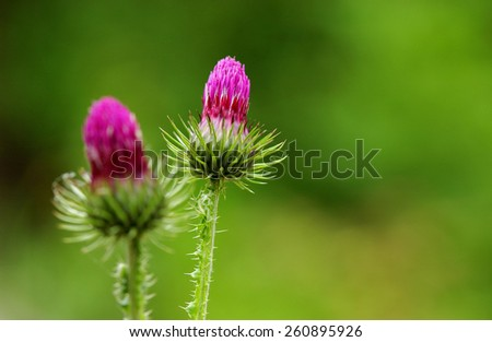Thistle flower in the green field - stock photo