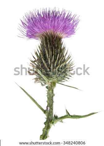 Thistle flower on white background       - stock photo