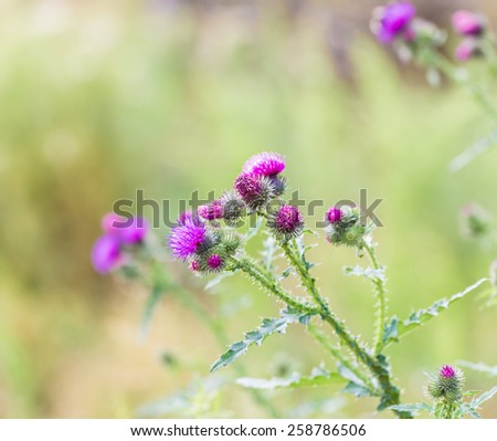 thistle flowers close up - stock photo