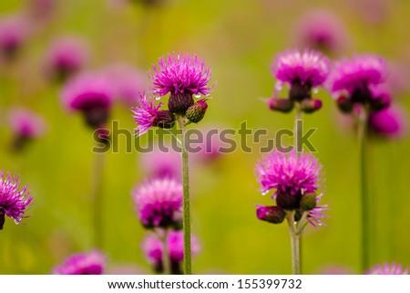 Thistle - Lat. Carduus Defloratus - stock photo