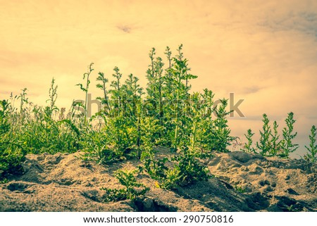 Thistle plants in dry sand in the summer - stock photo