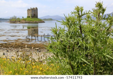 thistles growing on the shore of loch linnhe in argylle in the highlands of scotland - stock photo