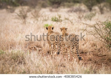 Tho Cheetahs walking away in the Kruger National Park, South Africa. - stock photo