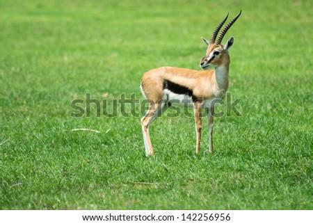 Thompson's Gazelle - stock photo