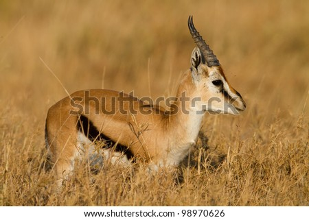 Thomson's gazelle male, Serengeti National Park, Tanzania, East Africa