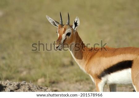 Thomson's gazelle on savanna in Africa - stock photo
