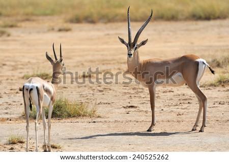 Thomson's gazelle on savanna in National park. Kenya, Africa - stock photo