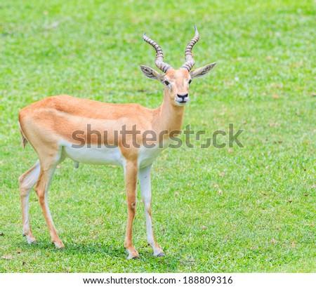 Thomson's gazelle - Thomsoni  gazella - stock photo