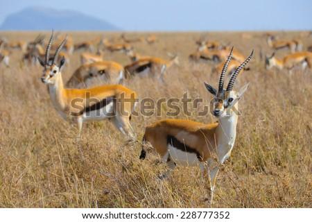 Thomsons gazelle in Serengeti - stock photo
