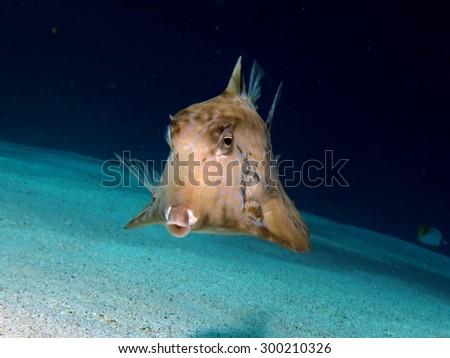 Thornback boxfish on sandy slope - stock photo