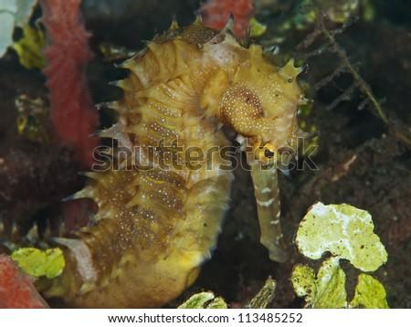 Thorny sea horse (Hippocampus histrix) - stock photo