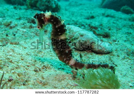 Thorny seahorse at seabed (Hippocampus histrix) - stock photo