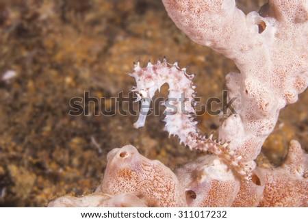 Thorny seahorse (Hippocampus histrix) sitting on a sponge. - stock photo