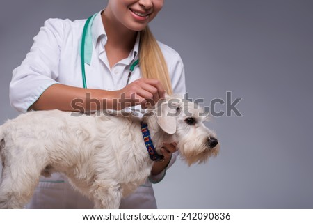 Thorough dog examination. Clopped image of a female vet examining fur of little terrier dog while standing against grey background