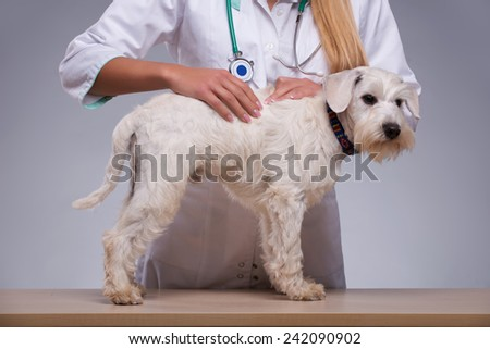 Thorough dog examination. Shot of a vet examining fur of little terrier dog while standing against grey background - stock photo