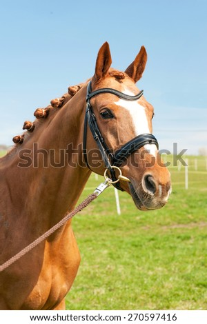 Thoroughbred braided chestnut horse portrait. Multicolored summertime outdoors image. - stock photo