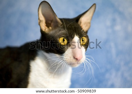 Thoroughbred cat with bright yellow eyes watching with interest. On the blue background. Cat breed Cornish Rex American - stock photo