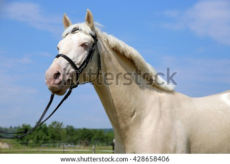 Thoroughbred cremello horse with bridle against blue sky background