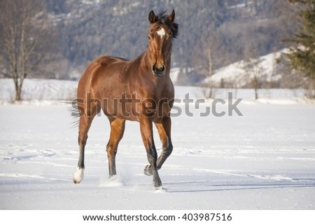 thoroughbred horse in the snow - stock photo