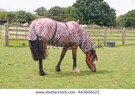 Thoroughbred horse wearing a zebra print rug as protection from the biting insects, that are plentiful in the warmer seasons.