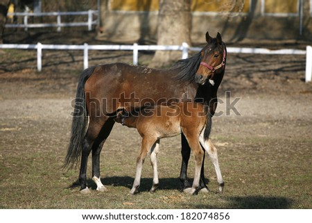 Thoroughbred mare and foal breastfeeding in pasture - stock photo