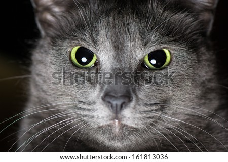 Thoroughbred Russian Blue Cat male - stock photo