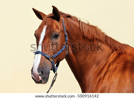 Thoroughbred sorrel horse looking at camera