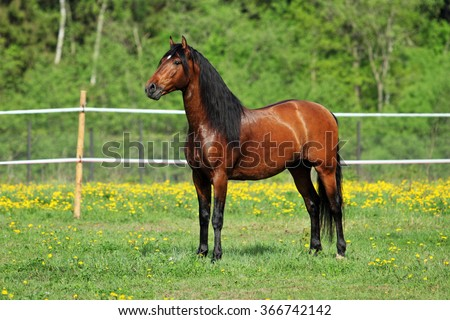 Thoroughbred young horse posing against spring fields - stock photo
