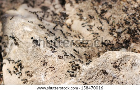 thousands of black ants on stony ground - stock photo