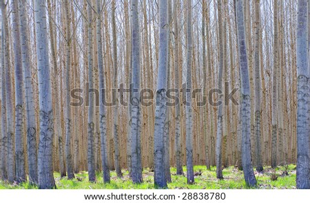 Thousands of hybrid Poplar trees - Populus Alba - growing in a commercial forest, with green grass on the ground. - stock photo